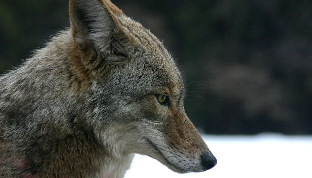 Coyote Hunting 1|[WATCH THIS] Incredible Coyote Hunting That Will Make You Flabbergasted
