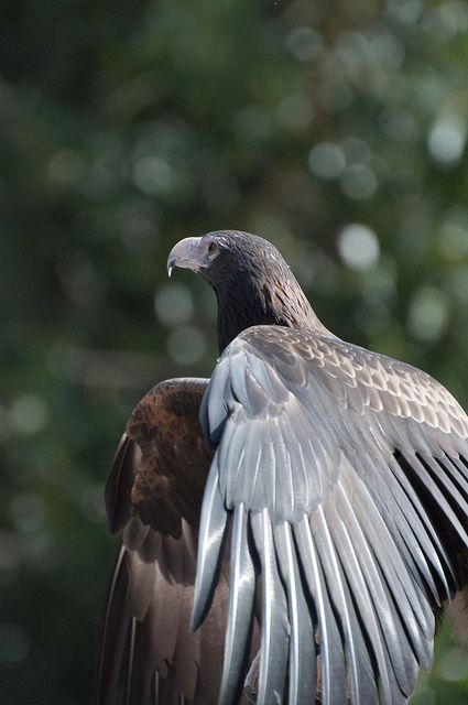 Wedge-tailed Eagle What a beauty!! I really really want one.