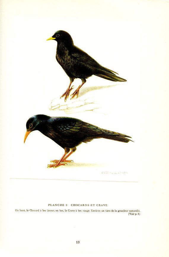 1961 Illustration d'oiseaux vintage Poster de chocard Poster de crave Image d'oiseau noir Déco oiseaux Cadeau ornithologie