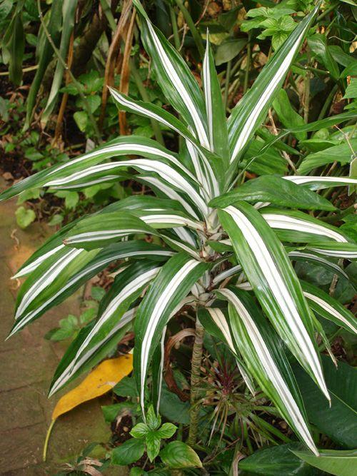 Cuidados: Dracaena deremensis varietà Warneckii