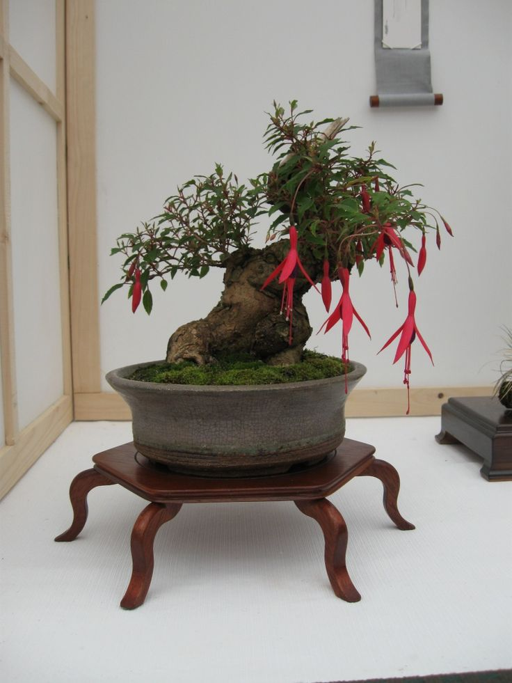 fuchsia bonsai | cleaning curing with a including fuchsia used for many fuchsias