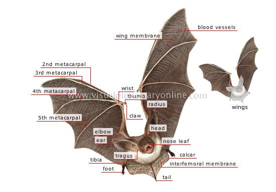 morphology of a bat