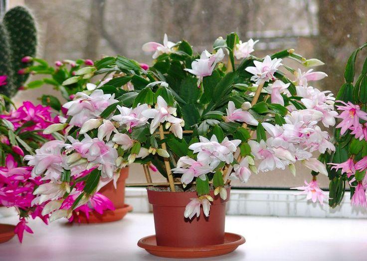 """Луковый коктейль для цветов  Если мои комнатные цветы """"грустнеют"""" на глазах, я готовлю для них """"живительный коктейль"""" - отвар луковой шелухи. Приготовить его совсем несложно, а самое главное - """"ингре…"""