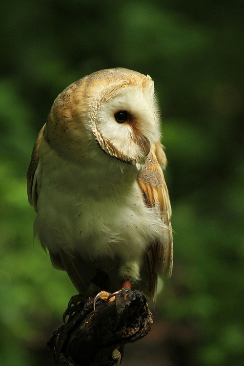 Trevor, Barn Owl (Photo by HotSnapshot)