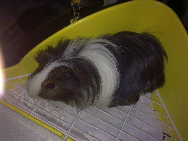Lorenzo-- Silkie Guinea Pig