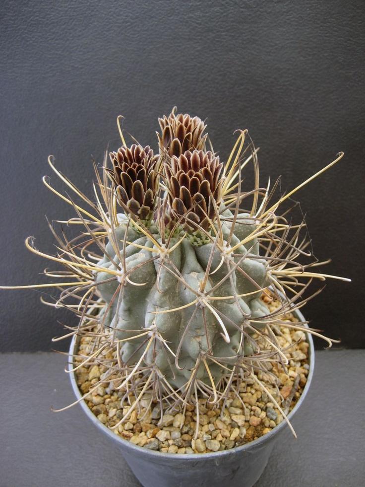 Sclerocactus uncinatus  // коричневые цветы!