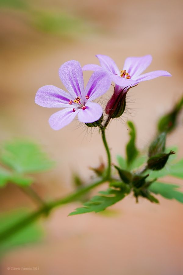 Geranium ROBERTIANUM by Zuzana Viglasska on 500px