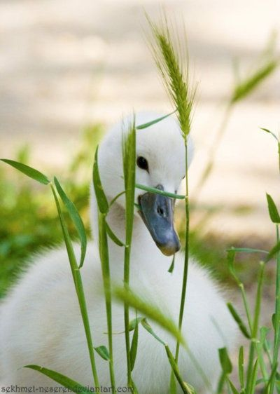 Beautiful little cygnet