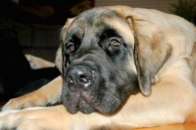 Close up upper body shot from the side - A tan with black English Mastiff is laying on a hardwood floor looking relaxed and sleepy.