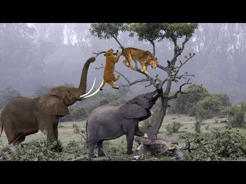 Elephant Is The Guard!! Elephant Rescue Buffalo and Impala
