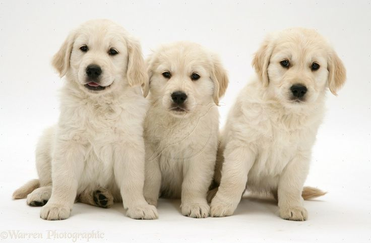 English Cream Golden Retriever Puppies | Dog Breeds WallpapersDog Breeds Wallpapers