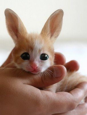 """Okay, I saw this and said """"hey, what kind of kitten is this with the big ears and where can I get one?""""  Then I realized that this is a baby Fennec Fox.  Still...he is a cutiepatootie!"""