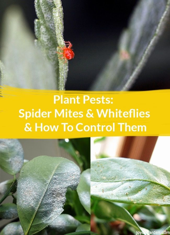 Even though you keep your garden &/or houseplants well tended, pests can appear out of nowhere. Here's how to i.d. Spider Mites & Whiteflies plus methods of control. A video guides you.