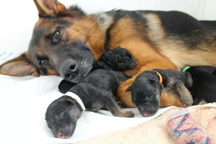 Newborn German Shepherd Puppies!