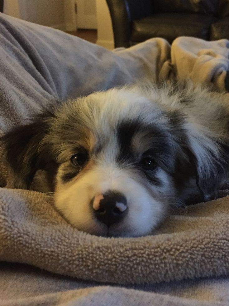 Miniature Australian Shepherd Puppy. I have a love for these dogs ever since my granddog (an Australian Cattle Dog) came to live with us.
