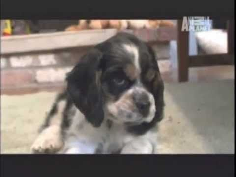 COCKER SPANIEL - ABC CANINO - 101 DOGS - ESPAÑOL - YouTube