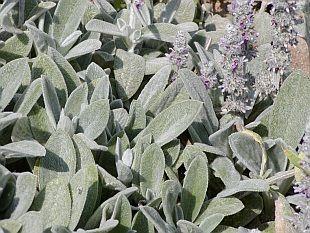 Stachys - květinové záhony, které nemusíte zalévat