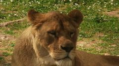 Lioness Close-Up Stock Footage Clip