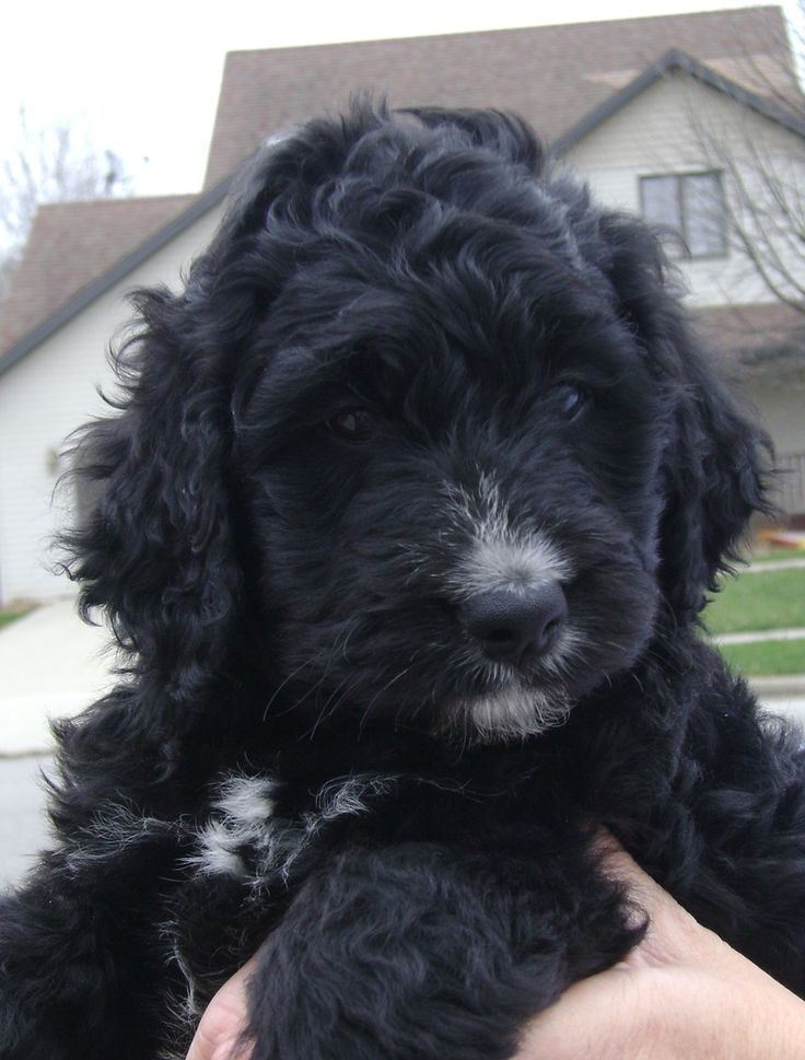 Bernedoodles! This one looks just like my Rosco... Hundred pounds of love