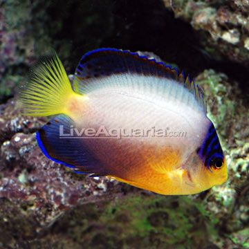 17 best images about cool marine fish on pinterest bali for Fish compatible with angelfish