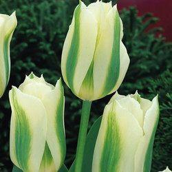 Tulipa Spring Green. April/May. 50cm.