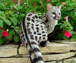 Genets are an exotic pet that stays on the small side. Their personality and care is most comparable to that of a cat.