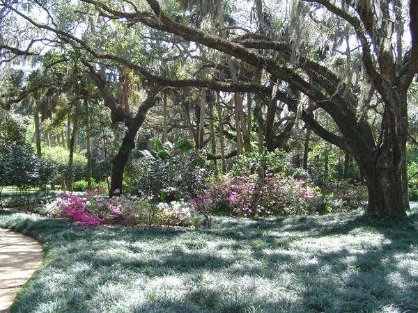 How To Plant Grass Under Oak Trees : Large oak trees with mondo grass groundcover fabulous florida