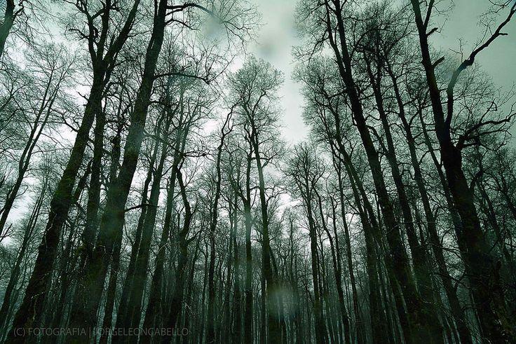 Bosque invernal - Neltume (Chile)