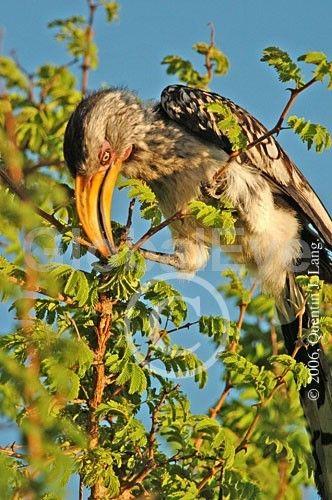 Southern Yellow-billed Hornbill, Tockus leucomelas . Southern Yellow-billed Hornbill, Tockus leucomelas, a ubiquitous local, Deception Valley, Kalahari Desert, Botswana, Africa.Photograph By Quentin J Lang #BirdsPhotography