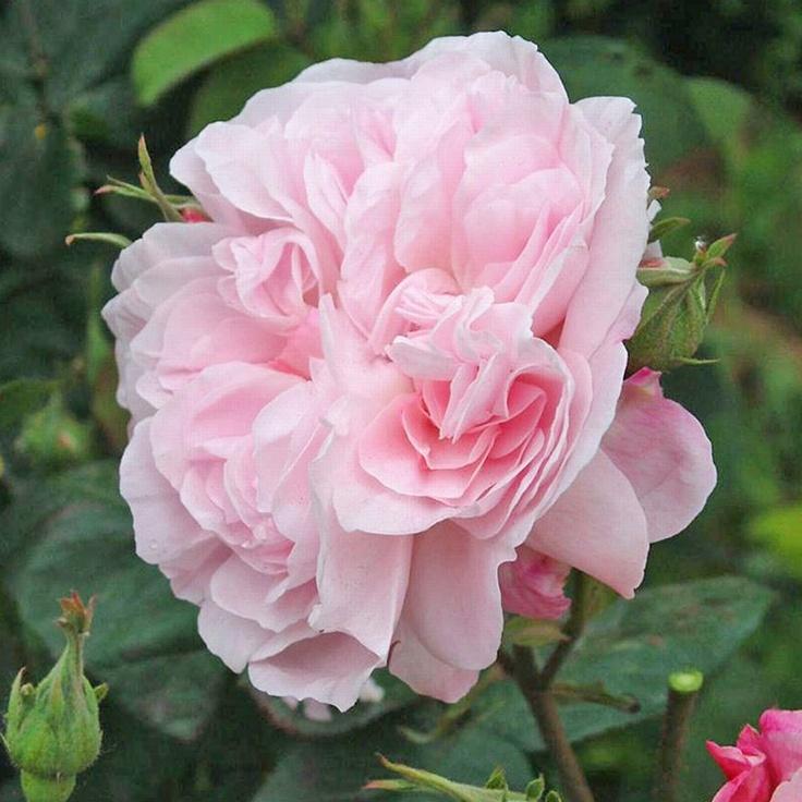 39 queen elizabeth 39 bush rose roses roses roses pinterest. Black Bedroom Furniture Sets. Home Design Ideas