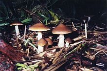 Psilocybin mushroom - Wikipedia, the free encyclopedia