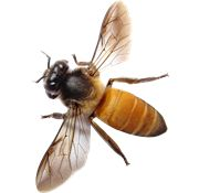 Bee PNG Images On this site you can download free Bee PNG image with transparent background.