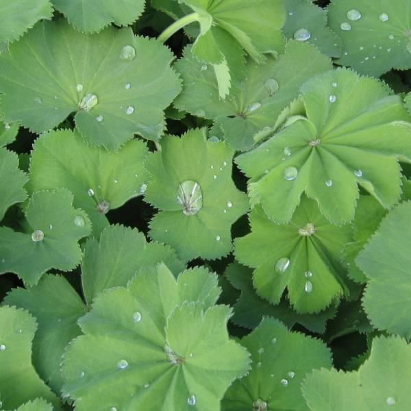 Løvefod, Lodden Alchemilla mollis. Sås direkte på voksestedet marts-august. Flittig selvsåer. Spirer ved 15-20 grader. 1/4 cm sådybde. Flerårig.