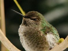 Hummingbird Pictures - National Geographic#/greenish-hummingbird_12890_600x450.jpg#/greenish-hummingbird_12890_600x450.jpg