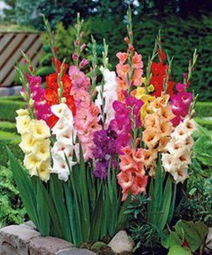 Benih Bibit Umbi Bunga Gladiol Mix Color