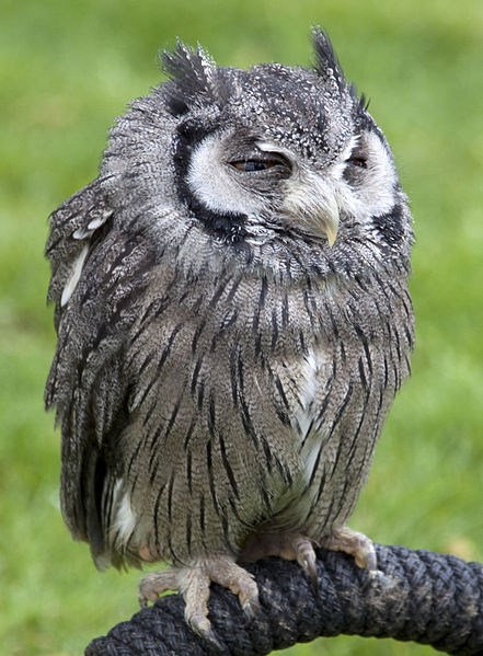 White faced scops owl.