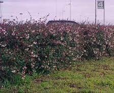 d- Resultado de imagen para abelia grandiflora cordoba cordoba
