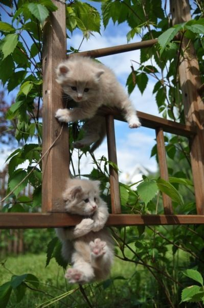 Acrobats by Vitality: Kitty Cats, Cutenes, Adorable Animals, Pets, Kitty Kitty, Baby, Kittens, Kitties, Hang In There