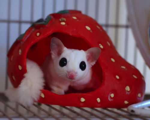 Cute Sugar Glider in strawberry from 12 Questions to Ask Yourself Before Getting a Sugar Glider