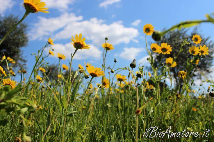 campo di margherite gialle, primavera