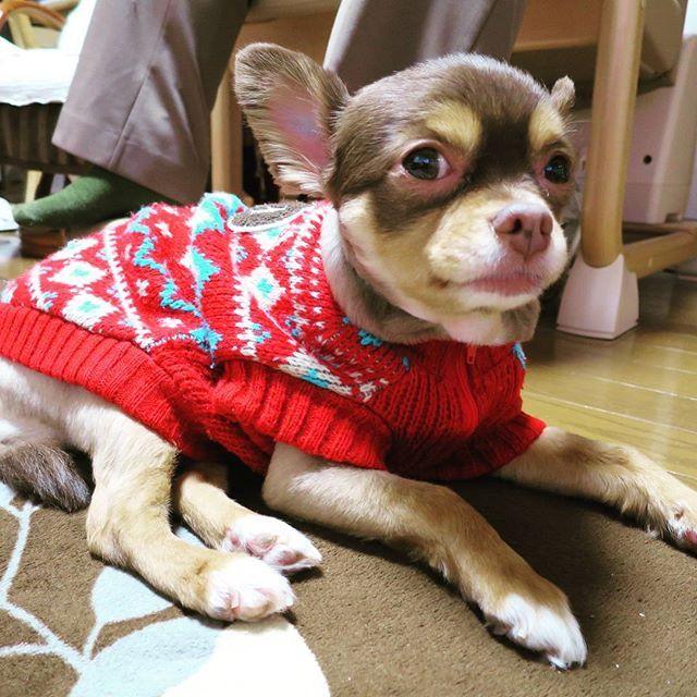 テレビ観てます。イヌが出ると吠えます(笑) #チワワ#チワワ部#チワワ倶楽部#ロングコートチワワ#愛犬