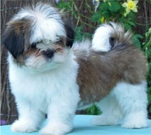 a lhasa apso puppy! once I get a home!!!