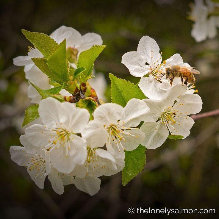 Fight of the bumblebee Patti chiari: a te il polline a noi le ciliegie!!