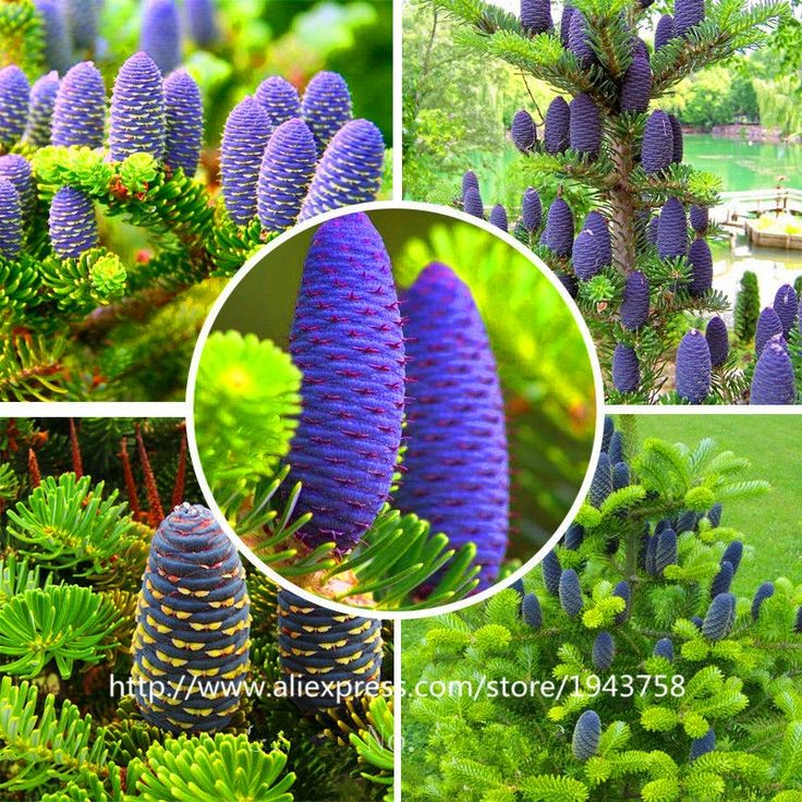 0.45$  Buy here - 50 pcs Abies seeds,korean fir,Nordmann Fir (Christmas Tree, Conifer) seeds tree. House Garden bonsai plants and flowers seeds   #magazine