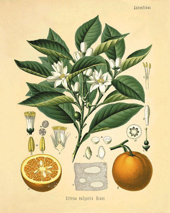 Orange art print kitchen fruit print antique by VictorianWallArt