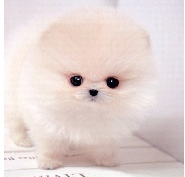 Baby pomeranian | Leslie's kittens and puppies | Pinterest ...