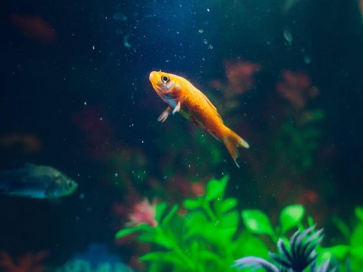 #WellnessWednesday: To keep your fish happy and healthy maintain the correct pH level for the species of fish you have. Freshwater fish preferred pH can range from 6.6 up to 7.8 so it's important you research the correct pH level. Adjusting pH is easy but needs to be done very slowly over a period of time. Fluctuations in pH will negatively affect the health of your fish. #PetPoolWarehouse