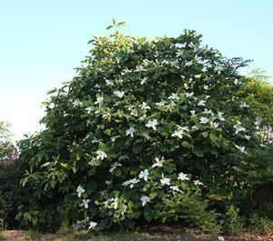 Magnolia Macrophylla How Does Your Garden Grow Pinterest