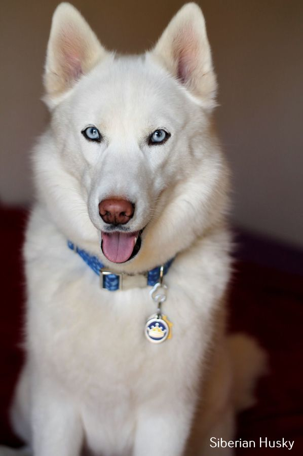 All About Siberian Husky Black And White White Siberian Husky