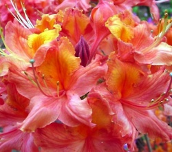 132 best images about Azaleas on Pinterest Gardens